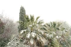 neige en Méditarranée: (guy dhotel) Tags: palmier pin neige tempête hiver méditerranée