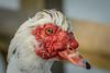 Muscovy duck / Canard de Barbarie / Muskuseend (Smeets Paul (ty for 1,9 million views)) Tags: muscovyduck muskuseend duck eend canarddebarbarie