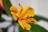 Honi soit qui mal y pense (Pensive glance) Tags: alstroemeria peruvianlily lyspéruvirn lilyoftheincas lysdesincas flower fleur plant plante