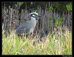 Bihoreau violacé (Nyctanassa violacea) (cquintin) Tags: chordata vertebrata aves pelecaniformes ardeidae nyctanassa violacea bihoreau heron