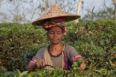 Bangladesh - Srimangal area, Finlays Tea Estate (lukasz.semeniuk) Tags: bangladesh srimangal finlaysteaestate teaestate teapicking woman