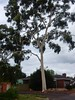 Suburban Gum Tree (mikecogh) Tags: tranmere suburban gumtree white pale majestic