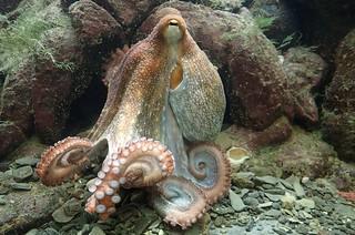 Octopus vulgaris - Pieuvre commune ou Poulpe commun - Common octopus - 22/02/18