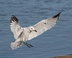 0S8A5608X. Audouin's Gull   Larus audouinii   adult (Nick Ransdale) Tags: audouinsgull larusaudouinii adult