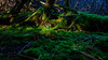 Mossy Glade (Nick_Rowland) Tags: ancientforest kingleyvale southdowns sussexdowns westsussex yewtrees moss sunlight
