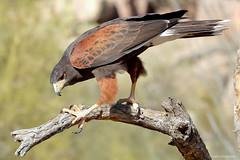 Harris's Hawk (dpsager) Tags: arizona arizonasonoradesertmuseum bird dpsagerphotography tucson hawk harrisshawk zoosofnorthamerica