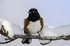 Waist-deep in snow- Spotted Towhee Style (Chantal Jacques Photography) Tags: spottedtowhee wildandfree bokeh snowyenvironment