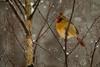 Female Cardinal (langdon10) Tags: bird canada canon70d cardinal novascotia cold outdoors snow trees winter