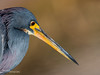 Tricolored Heron 004 (RRcoleJR Photography) Tags: 1 animalia ardeidae aves betterbeamer bokeh chordata close closeup dof egretta egrettatricolor flashextender godox godoxv860iio horsepenbayou houston hunting louisianaheron pelecaniformes texas tricoloredheron usa v860iio water alone ascend ascendh12 ascendoutdoors avian bay bayou bird feather feathers flash fx3 head headonly headshot hunter marsh marshland marshy narrowdof ocean predator profile river side sideview sideways single swamp swampland swampy