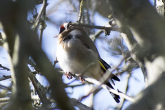 """goldfinch-d • <a style=""""font-size:0.8em;"""" href=""""http://www.flickr.com/photos/157241634@N04/39774303124/"""" target=""""_blank"""">View on Flickr</a>"""