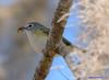 Blue-headed Vireo (Gatorgirl51) Tags: blue headed vireo nikon bird eating bug