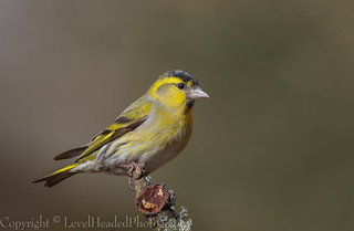 Siskin in the sun - male (Carduelis spinus) -  'Z' for zoom