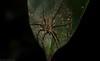 Dolomedes (dustaway) Tags: arthropoda arachnida araneae araneomorphae australianspiders rprr rotarypark rainforest lismore nature northernrivers nsw australia pisauridae dolomedes waterspider