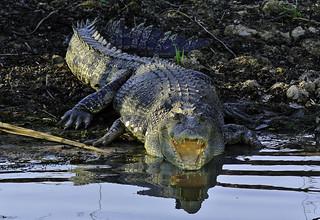 Salzwasserkrokodil - Saltie (Crocodylus porosus)
