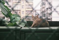 過不去呀! (YL.H) Tags: canon cat film analog fujicolor taiwan taipei 台北 底片 貓