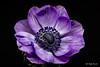 Purple anemone (Magda Banach) Tags: canon canon80d sigma150mmf28apomacrodghsm anemone blackbackground colors flora flower macro nature plants purple