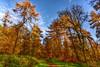 Walk In A Larch Wood (superdove) Tags: larixdecidua larch 24mmf18g