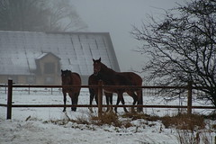 Horses in snow (In Explore) (Steenjep) Tags: vinter winter sne snow ice frost frozen horse hest farm building fence hegn stable barn