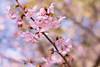IMGL0603 (GARNETSKY2006) Tags: 180304sakura sakura japan record cherry blossom cherryblossom eos5d 5d3 50mmf12