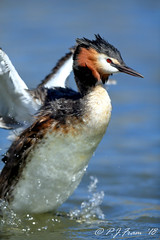 Grebe Up... (Rat_Salad (sorry if too busy to play for a while..) Tags: greatcrestedgrebe podicepscristatus canon1dx canonef600mmf4isusml cardiff urbangrebe urbanwildlife