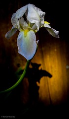 Spring preview (photo.po) Tags: canonphotography canonrebelt6 canon flowers iris