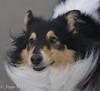 shelties on the beach (JosjeToby) Tags: shelties sheltie shetlandsheepdog shetlandsheepdogs dogs wetdogs beach beachlife ameland netherlands netherland nederland sonya6000 animals animal fun