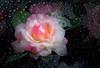 Beauty in the Rain (JLS Photography - Alaska) Tags: flowers flower rose blossom rain artwork digitalart digitalmanipulation jlsphotographyalaska macro leaf garden