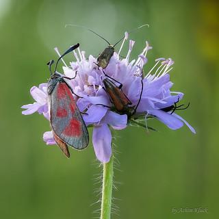 Artenvielfalt - Beilfleck-Widderchen (Zygaena loti) und 4 weitere Insekten auf einer Blüte