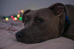 xmas_dog3 (DS_Mastery) Tags: dogs pitbull bluenose darkside dsmastery nikon d5100 sb700 christmas lights lightroom puppy photography