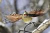 Cardinal flight (tsandra996) Tags: wings flight orange cardinal wild wildlife take off nature close up