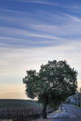 A Lone Tree on the Edge of Dusk (allentimothy1947) Tags: cahwy12 california kenwood kundewinery landscape sonomacounty wine goldenhour hills mustard oaktrees sunlight sunset trees vines vineyards winery dusk oak