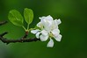 Malus pumila Mill. - Melo (vincenzolerro) Tags: thisphotorocks languageofflowers