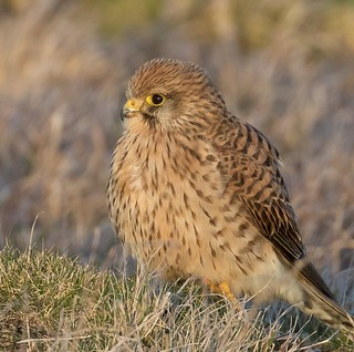 Kestrel in the last rays of sunset