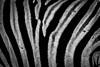 Namibia Etosha National Park Zebra (Sas & Rikske) Tags: canon eos1d x canoneos1dx canon100400 eric bruyninckx riksketervuren namibië namibia namib animal animals safari africa afrika etoshagamepark etosha game park etoshapan pan greatwhiteplace great white place oshindonga ndonga landscape green blauwevogelreizen 2017 zebraskin zebrahideclose zebrahide macr close up dicht dichtbij