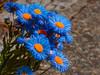 Blue is the Colour (Steve Taylor (Photography)) Tags: blueisthecolour art digital blue brown green orange uk gb england greatbritain unitedkingdom london flower aster