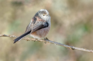 JWL1857  Long tailed Tit..