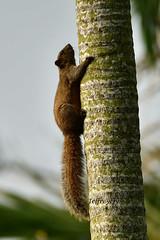 Red-bellied Squirrel 赤腹松鼠 (Jeffreycfy) Tags: mammals callosciuruserythraeus nikon d7200 nikkor200500mmf56e redbelliedsquirrel 赤腹松鼠