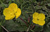 Taraxia ovata (TJ Gehling) Tags: plant flower myrtales onagraceae suncup goldeneggs taraxia taraxiaovata camissoniaovata hillsidenaturalarea elcerrito