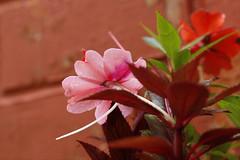 Pink tones (Maria A Monteiro) Tags: flores folhas corderosa vermelho flowers leaves pink red fleurs feuilles rose rouge