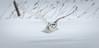En Chasse (martinmenard757) Tags: martin menard snowy harfang hiver quebec canada bird oiseau