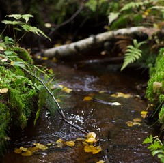 Autumn stream (Stefano Rugolo) Tags: stefanorugolo pentax k5 pentaxk5 smcpentaxm50mmf17 depthoffield bokeh stream water leaves autumn intimate vintagelens primelens pentaxprimes hälsingland sweden nature fern birch fallentree
