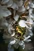 Cétoine dorée émergeant du lilas (Djynie) Tags: cétoine insecte lilas reflet