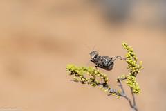 Boxer Bark Mantid (Paraoxypilus sp) (BenParkhurst) Tags: boxerbarkmantid paraoxypilus outback benparkhurst outdoor insect charlesdarwinreserve animal small 2017 wa mantid whitewellsstation wildlife westernaustralia wild fauna midwestwa australia invertebrate