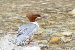 Gänsesäger 9 (rgr_944) Tags: vögel vogel bird oiseau tiere animaux animals natur outdoor canoneos80deos7dmk2eos5dmk4 rgr944 tier animal wildlife