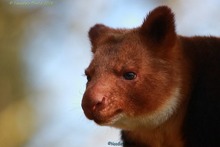 Goodfellow's tree-kangaroo - Goodfellow-Baumkänguru
