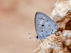 Common Hedge Blue (chaz jackson) Tags: commonhedgeblue acytolepispuspa lycaenidae polyommatinae insect butterfly vietnam