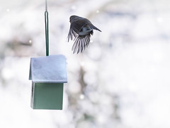 In search of food (V Photography and Art) Tags: birdhouse birdfeeder snow cold winter weather bokeh robin
