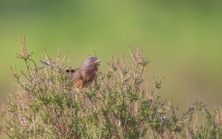 Male Dartford Warbler