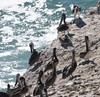 Brown Pelican (Pelecanus occidentalis) 10-24-2017 Pt. Reyes--Chimney Rock, Marin Co. CA 2 (Birder20714) Tags: birds california pelicans pelicanidae pelecanus occidentalis