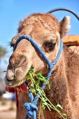 Camel close-up (Nina_Ali) Tags: grass camel morocco bluesky animalplanet africa afrique animalslookingatyou ninaali february2018